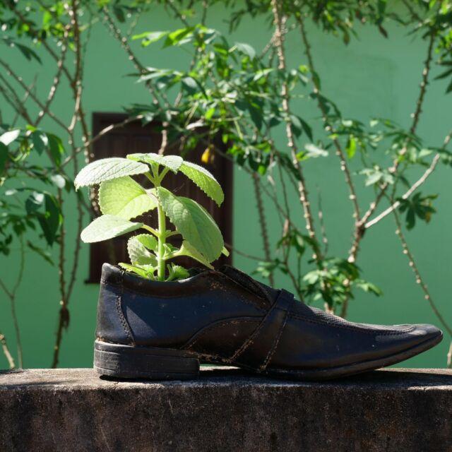 🇪🇸🇬🇧🇧🇷👇🏽 🇳🇱Toen ik net aankwam in Assis, (inmiddels 4,5 maand geleden 😯) vond ik deze schoenen in de vuilnisbak, ze bleken door mijn buurman weggegooid te zijn. Ik besloot mijn keukentje iets gezelliger te maken en plante er twee plantjes in. Één daarvan, de malvavisco kwam zelfs erg handig van pas toen ik me even een dag een beetje grieperig voelde. Ik dronk een Malvavisco thee en werd diezelfde dag nog beter!  🇬🇧 When I just arrived in Assis, (4,5 months ago now 😯) I found these shoes in the trash, they appeared to have been thrown away by my neighbour. I decided to make my little kitchen a bit cosier and planted two plants in it. One of them, the Malvavisco, came in very handy when I was feeling a bit sick for a day. I drank a Malvavisco tea and got better the same day!  🇪🇸 Cuando recién llegue a Assis, (hace 4,5 meses 😯) encontré estos zapatos en la basura, parecían haber sido tirados por mi vecino. Decidí hacer mi pequeña cocina un poco más acogedora y planté dos plantas adentro. Uno de ellos, el malvavisco me vino muy bien cuando me sentí un poco engripada durante un día. ¡Me tomé un té Malvavisco y mejoré el mismo día!  🇧🇷 Quando acabei de chegar em Assis, (agora há 4,5 meses atrás 😯) encontrei estes sapatos no lixo, eles pareciam ter sido jogados fora por meu vizinho. Decidi tornar minha pequena cozinha um pouco mais aconchegante e plantei duas plantas nela. Um deles, o malvavisco veio muito a calhar quando eu estava me sentindo um pouco fluida por um dia. Eu bebi um chá Malvavisco e fiquei melhor no mesmo dia!
